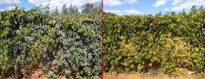 À esquerda, maracujá com a aplicação de BRANDT Photonik®. À direita, plantação sem proteção